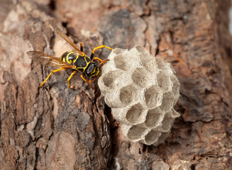 Wasps nest on pine bark