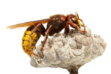 Hornet on vespiary