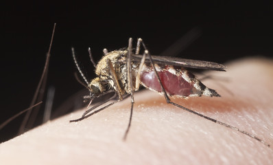 Mosquito sucking blood, extreme close-up with high magnification