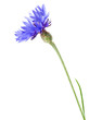 canvas print picture - Cornflower on the white background.
