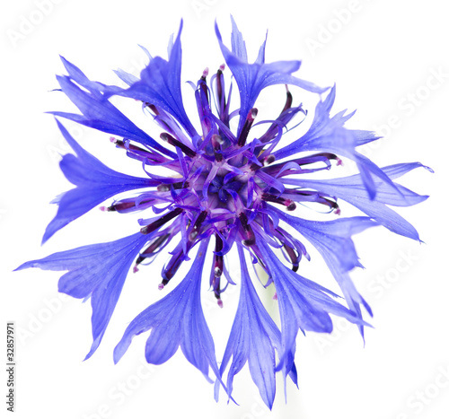 canvas print picture Cornflower on the white background.