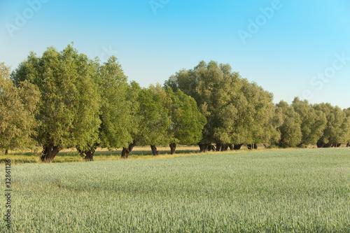 Weiden am Ackerrand