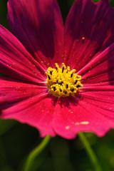 コスモス花粉