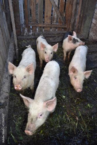 Двор для свиней
