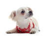 chiot chihuahua et collier