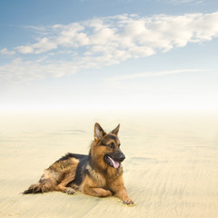 Healthy and Happy German Shepherd Dog