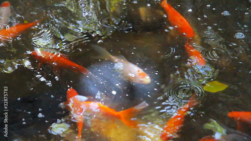 Pond Containing Swimming Goldfish