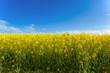 coltivazione colza paesaggio 1709