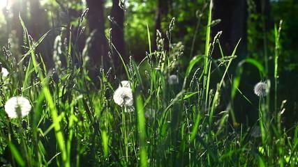 Grass, dandelion in spring sunset
