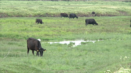 коровы на поле