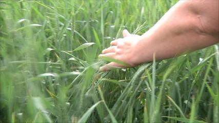 женщина фермер проверяет посевы пшеницы