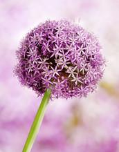 Allium, fleurs d'ail violet