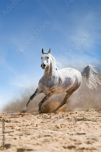 arabian horse runs gallop in the dist