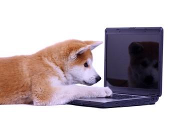 Akita Welpe mit Spiegelbild im Bildschirm