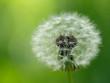 Dandelion flower, macro closeup.