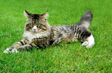 Maine Coon Cat lying on the grass