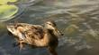 Entenmutter mit Küken