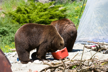 Grizzly Bears invading a Camp