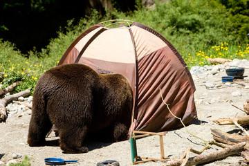 Bear looking in a tent