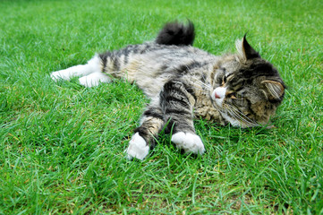 Maine Coon Cat. On the grass.
