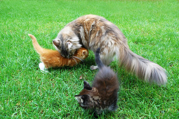 Little Maine Coon Cats. Lying On the grass.