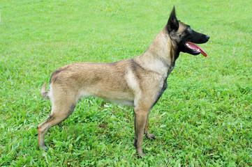 Belgian Malinois Dog standing on the grass