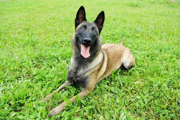 Belgian Malinois Dog lying on the grass