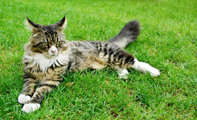 Maine Coon Cat. Lying On the grass.