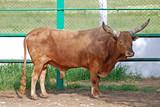 longhorn bull in farm enclosure poster