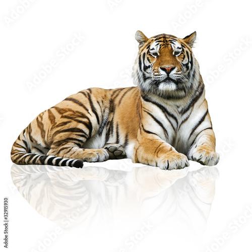 Fototapeten,tiger,katzen,tier,savage