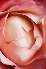 Hintergund - Die geschlossen Rose - Rosa Rot