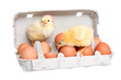 Eggs in the package with cute baby chicken