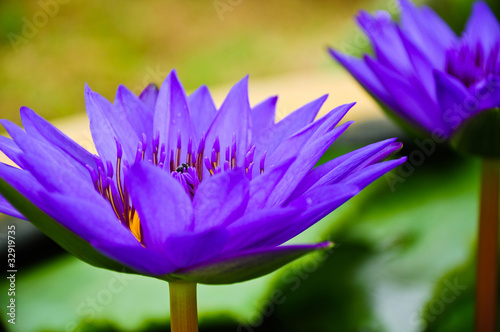 Purple waterlilies