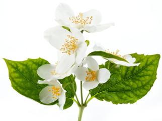 Jasmine flowers.