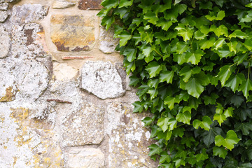 Ivy on and old wall