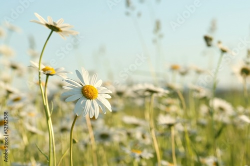 Foto op Canvas Madeliefjes Daisies in the spring meadow against the blue sky