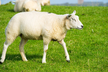 Young white sheep