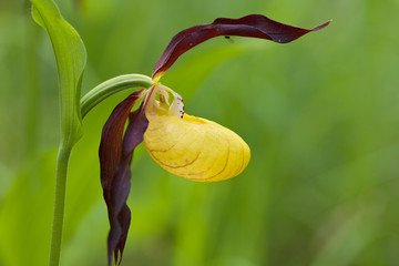 Frauenschuh, Cypripedium calceolus.