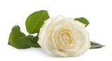White rose in front of a white background