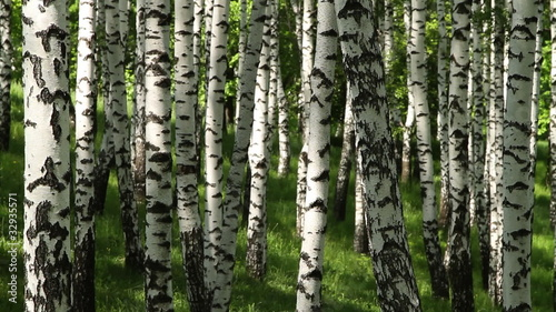 trunks of birch trees in spring day as a background