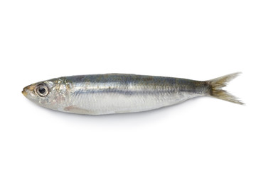 Whole single fresh raw sardine