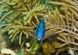 Indigo Hamlet fish