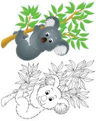 slow-moving Australian koala bear hanging on a branch