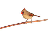 female cardinal eating a seed