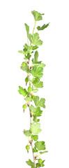 Gooseberry stem isolated on white background