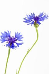 Blühende Kornblumen (Centaurea cyanus), isoliert