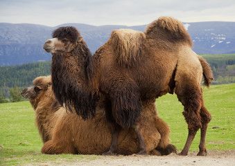 Pair of Bactrian camels, one lying down