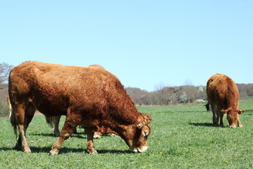 Grazing Limousin Bull Beef Cattle