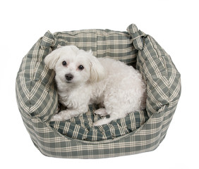 Maltese dog in his bed