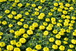 Garden of Yellow Marigolds